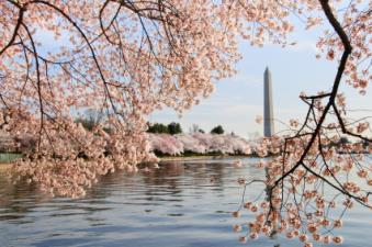 Washington_DC_cherry_blossoms.jpg